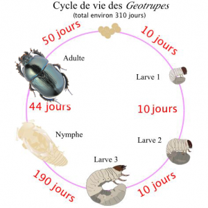 "Image originale par Bugboy52.40: ""The life cycle of the stag beetle, including the 3 instars"". Modification par les auteurs selon la permission de l'image originale ©2014 CC BY-SA 3.0"
