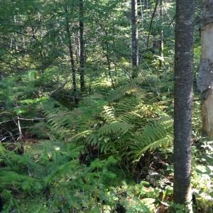 L'endroit de capture de l'espèce E. comstockii (zone humide, en pente et abondante en fougères).