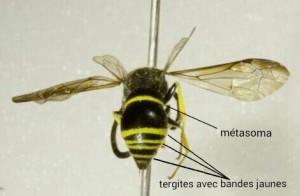 Figure 2: Vue arrière, présence de bandes jaunes sur les tergites, ailes antérieures légèrement teintes