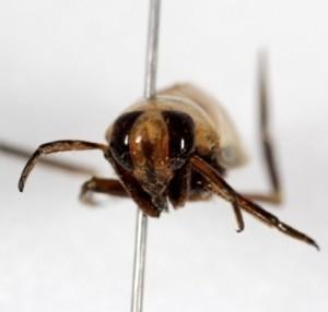 Les yeux de Notonecta borealis sont de couleur rouge et occupent une grande partie de la tête.