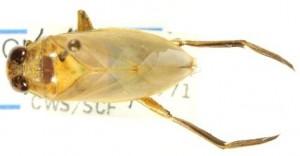 Spécimen de Notonecta borealis enregistré dans une collection. Credit : CNC/BIO Photography Group (2011)