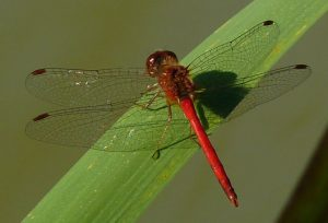 Photo d'un Sympetrum vicinum, creative common