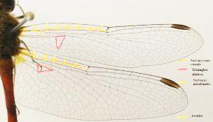 Figure 2 : Photographie des ailes antérieures et postérieures de Sympetrum vicinum