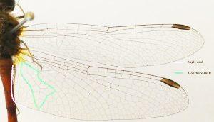 Figure 3 : Photographie des ailes de Sympetrum vicinum afin de montrer où se trouvent la courbure anale et l'angle anal