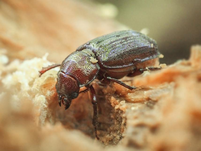 Figure 1 : Imago femelle de Ceruchus piceus dans une souche de bois en décomposition.